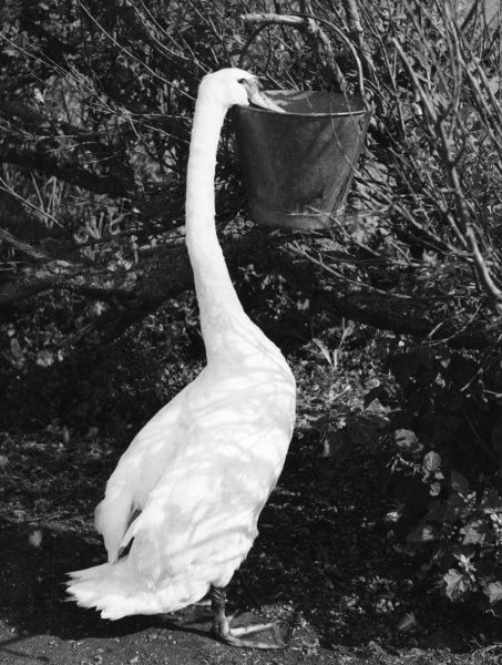 A swan reaches for his ration from a metal bucket at the Great Swannery, Abbotsbury, Dorset, England. Date: 1960s