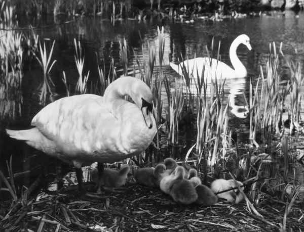 A lovely study of a protective swan (pen) watching over her cygnets. Date: 1930s