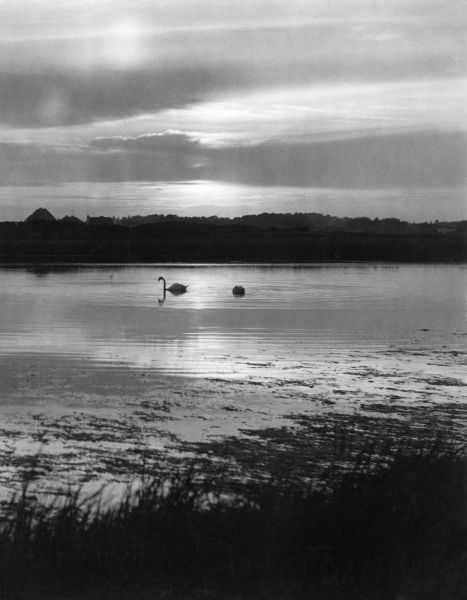 The last swan of the setting sun, Milford-on-Sea, Hampshire, England. Date: 1950s