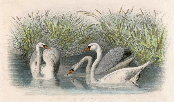 Three swans among the rushes on the banks of a river