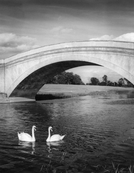 Swans on the River Ouse and the bold sweep of the arch in the bridge, leading to Tyringham House, Tyringham, Buckinghamshire, England. Date: 1960s