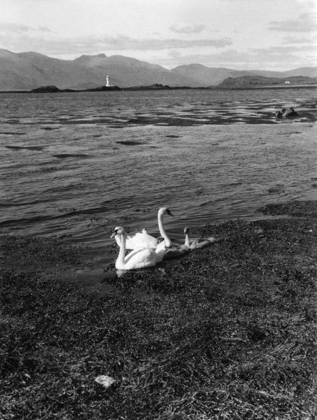 Swans and cygnets on the seaweed fringes of Loch Linnhe, at Appin, Argyllshire, Scotland. Date: 1960s