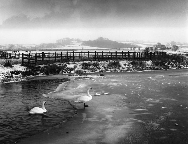 Swans on the partly frozen River Nene, near Upton, Northamptonshire, England. Date: 1960s