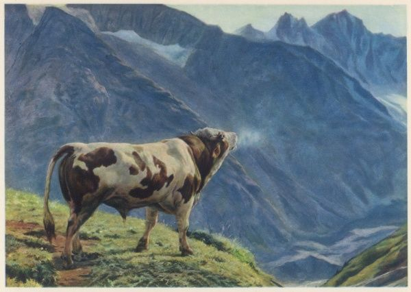 A Swiss bull, high on an Alpine meadow, bellows breathily