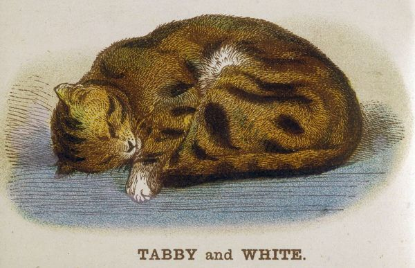A tabby and white cat sleeps