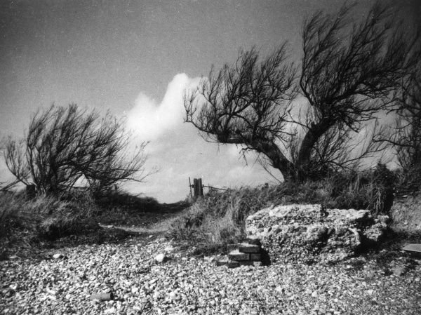 Tamarisk bushes growing on the beach at Goring, Sussex, England. These bushes are often planted in exposed places, to form wind breaks and to prevent erosion. Date: 1950s