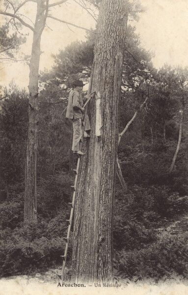 Tapping for pine resin - Arcachon, Gascony - West coast of France Date: circa 1910