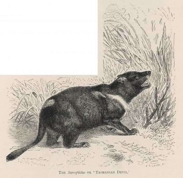 (sarcophilus harrisii) The largest marsupial carnivore, nocturnal, uttering loud and devilish cries