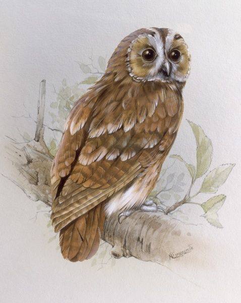 A Tawny Owl (Strix aluco) perched on a branch. Painting by Malcolm Greensmith