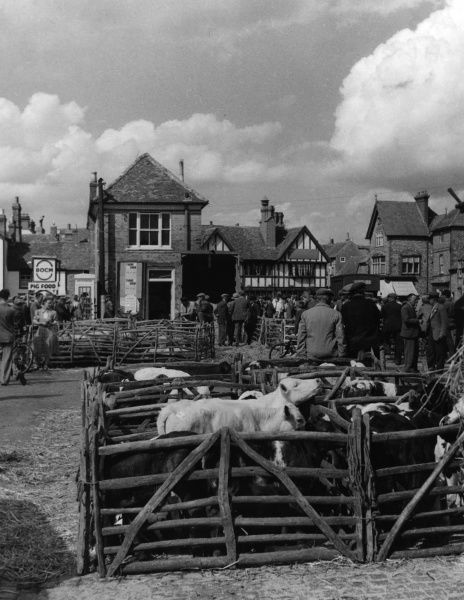 Market Day at Thame cattle market, Oxfordshire, England, showing some of the calf pens. Date: 1950s