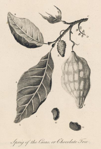 A sprig of the cocoa or chocolate tree THEOBROMA CACAO