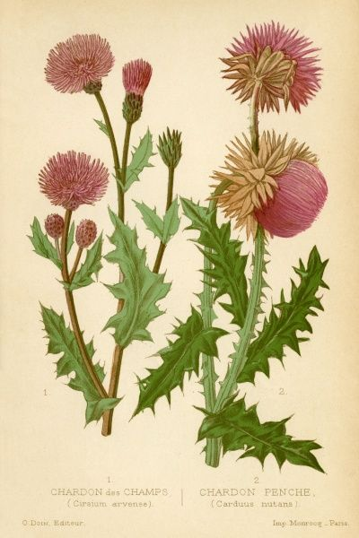 (left) circium arvensis (right) carduus mutans Two kinds of wild thistle