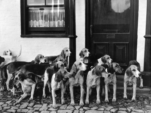 The Tickham Foxhounds, Kent, England, awaiting 'Their Master's Voice'. Date: 1950s