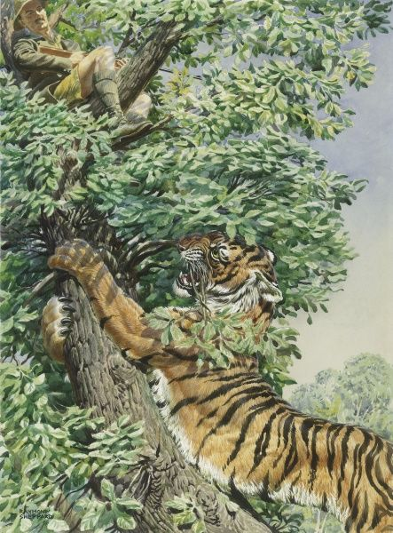 A Tiger attempts to get at a big game hunter, sat rather precariously on a tree branch