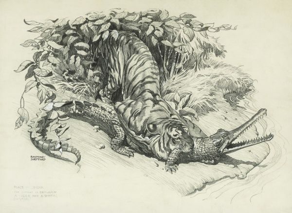 Tiger and Gharial in Combat