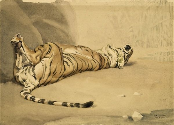 Tiger rolling onto its back on a dusty riverbank. Watercolour painting by Raymond Sheppard
