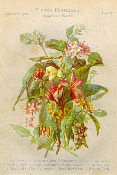 Exotic flowers used in making perfumes, including Jasmine, Eucalyptus, Vanilla and Mimosa