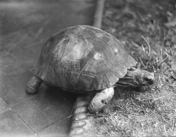 A tortoise climbing over some rope edging onto a lawn