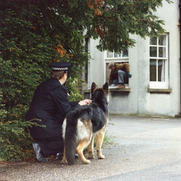 Training a police dog - catching a fleeing burglar. A police dog and handler lie in wait, ready to pounce on a burglar making his escape out of a ground floor window