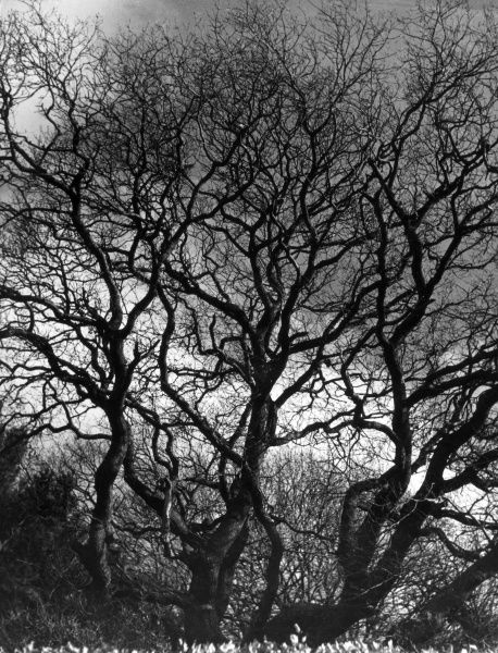 'Trees-tracery' - bare tree branches in early Spring.y Date: 1930s