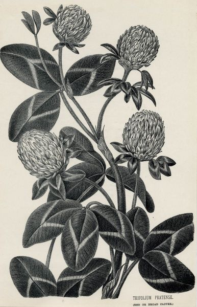 RED, OR BROAD, CLOVER Date: circa 1880