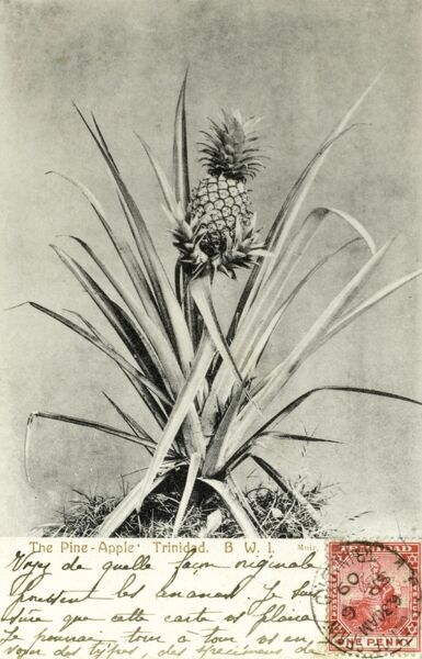 Trinidad and Tobago - Pineapple Plant Date: 1909