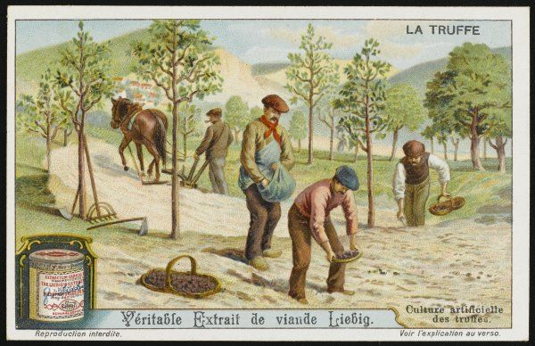 Although truffles normally grow naturally, they can be cultivated artificially if suitable conditions are created - a skilled process ! card 4 of 6