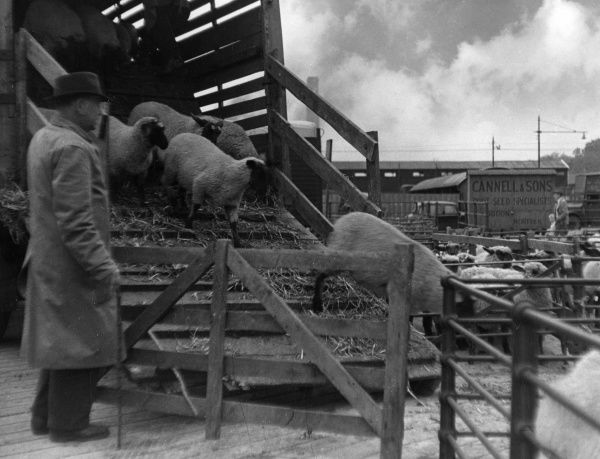 Unloading sheep at Ipswich Cattle Market, Ipswich, Suffolk, England. Date: 1930s