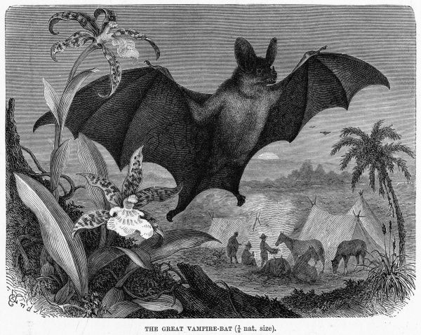 (desmodus rotundus) The American Vampire Bat thrives on warm-blooded creatures, humans included, from which it will suck 25ml of blood in 30 minutes