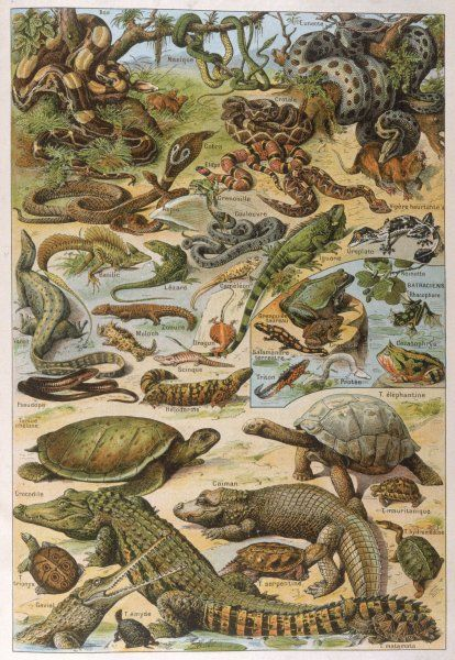 An amazing illustration covering the whole range of reptilian species from snakes to newts
