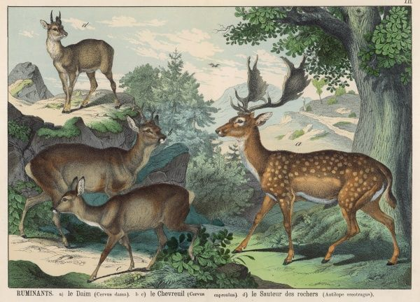 Four types of deer: Fallow Deer, Roe Deer (male and female), and Antelope