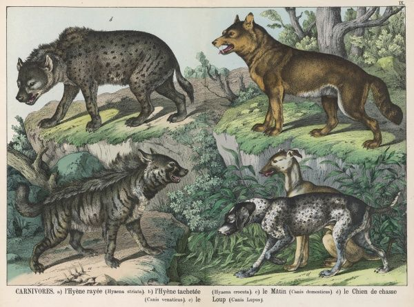 Various types of dog: Striped Hyena, Spotted Hyena, Domesticated, Hunting Dog, and Wolf