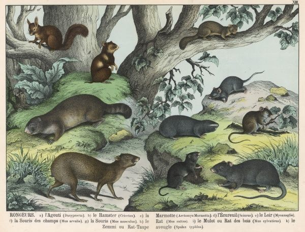 Various types of rodent: Agouti, Hamster, Marmot, Squirrel, Fat Dormouse, Fieldmouse, House Mouse, Black Rat, Woodmouse, and Blind Mole Rat