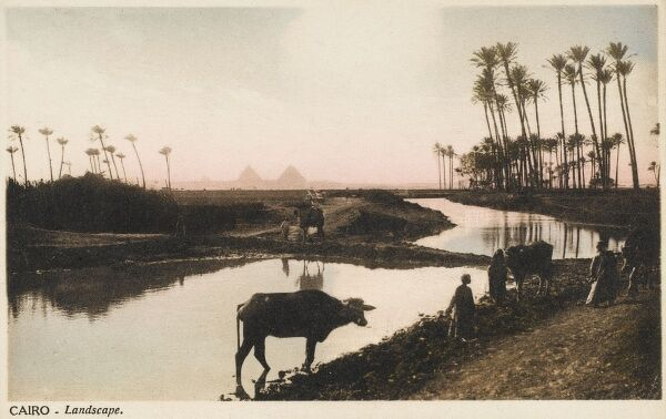 View across an irrigation channel and through some tall thin palm trees toward The Pyramids Giza, Cairo, Egypt