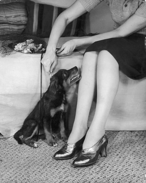 A lucky dog sits still to have his lead put on ready for his walk with a mistress with very shiny shoes