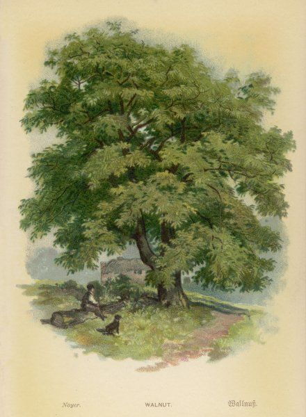 A walnut tree