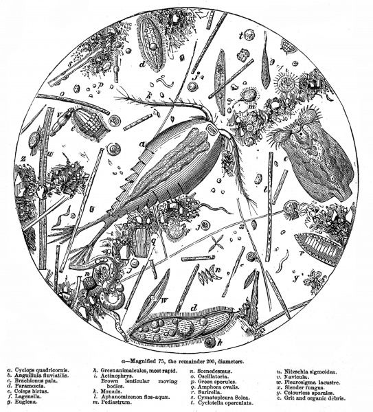Engraving showing a sample of water from the Serpentine, Hyde Park, London viewed at 200 times magnification, 1857