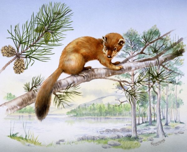 A weasel on the branch of fir tree