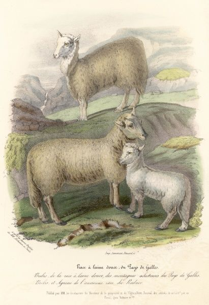 Welsh mountain sheep of the Radnor breed