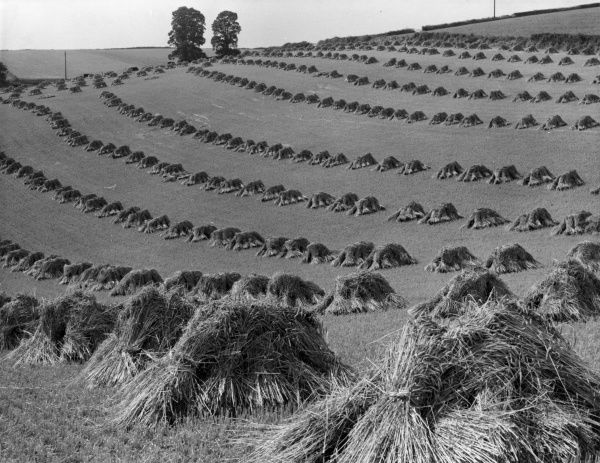 Stooks of wheat in the fields during the harvest, England