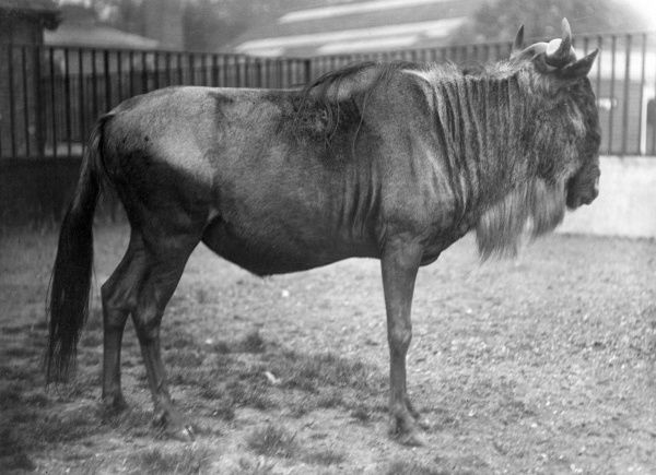 A White Bearded GNU, East Africa. Date: 1930s