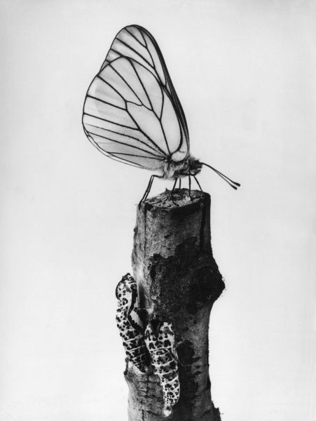 A black veined White Butterfly (Aporia Crataegi). Date: 1930s