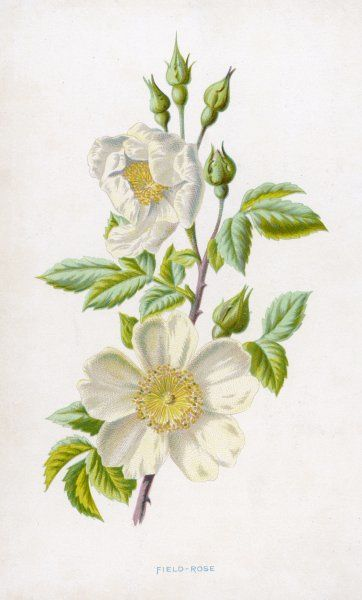 A white field rose