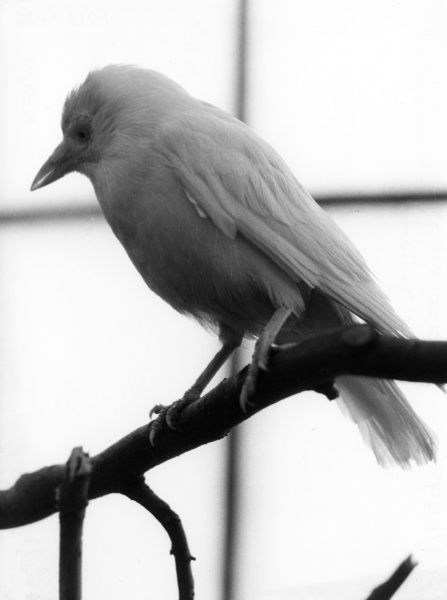 A White Jackdaw sitting on the branch of a tree. Date: September 1972