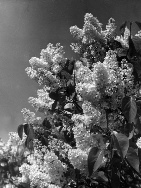 Wjite lilac (Syringa Vulgaris) flowers in May and is considered to be one of the most fragrant of all lilacs. Date: 1930s