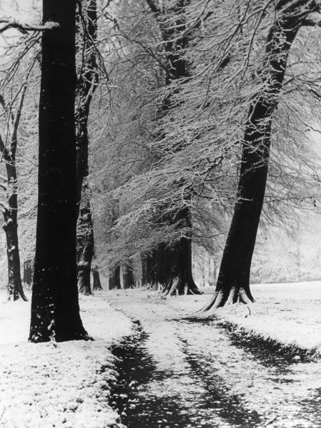 The bare branches of beech trees amid winter snow in Reynolds Park, Woolton, Lancashire, England. Date: 1950s