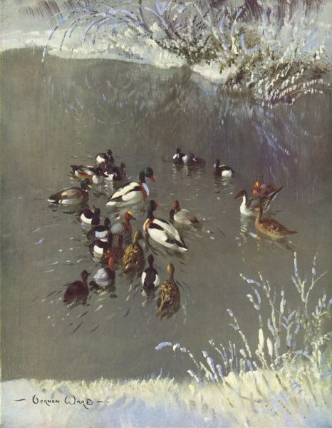 A group of waterfowl on a lake in a London park including a tufted duck, Mallard, Pintail and Sheldrake
