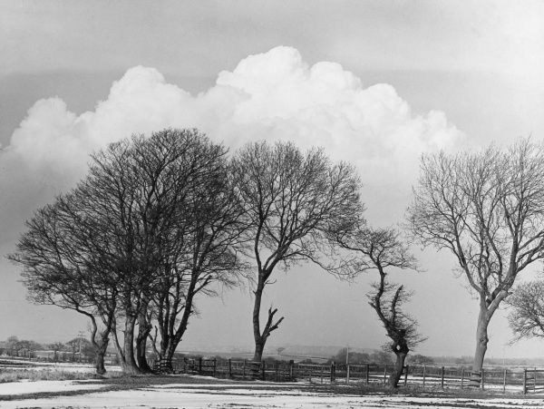 Winter reveals the feathery grace of this picturesque group of trees. Date: 1950s