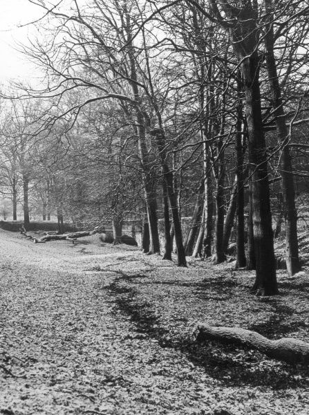 A light powdering of snow in the woods at Barnston Dale, Wirral, England. Date: 1950s