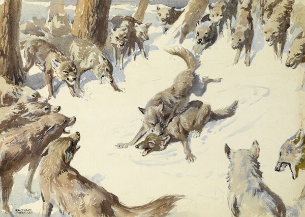 A pack of wolves circle two of their number who are fighting. One wolf appears to have the upper hand over his rival